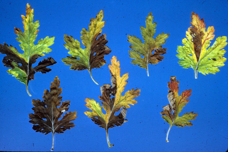 Leafdamage1
