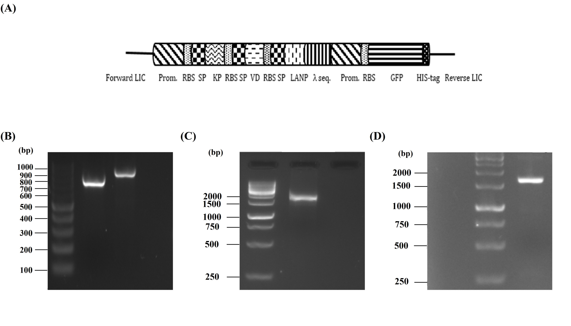 Figure 1  construct, soeing pcr and colony pcr